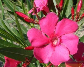 Nerium-oleander-italia ciklámen színű virága