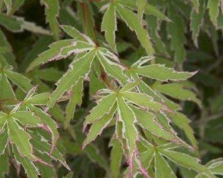 acer-palmatum-butterfly-japan-juhar-tavasz