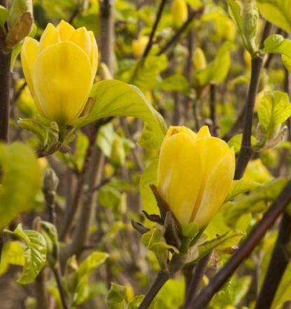 magnolia-yellow-bird-liliomfa