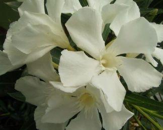 nerium-oleander-soeur-agnes-leander