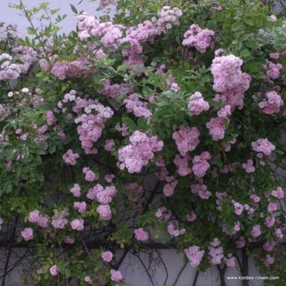 Bonny® - futórózsa 1 Gyönyörű rózsaszín, dúsan virágzó futórózsa.  <em>Kiszerelés: szabadgyökerű, A minőség</em>