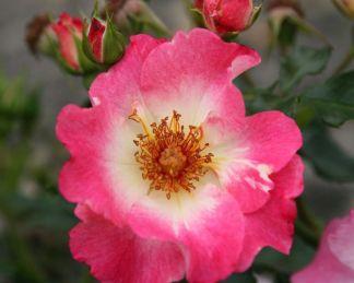 rózsa Dolomiti kordes