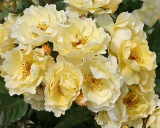 rózsa Goldspatz_kordes