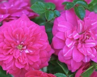 sweet Knirps talajtakaró rózsa