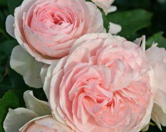 Larissa rózsa