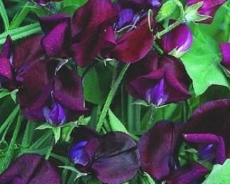 Lathyrus odoratus, Grandiflora 'Black Knight'