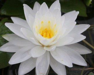 Nymphaea-waterlily-perrys-doublewhite-tavirózsa