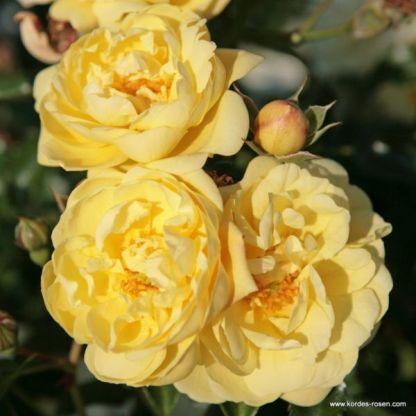 Sunny_Rose talajtakaró rózsa