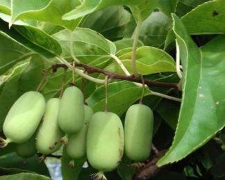 actinidia-arguta-jumbo-kopasz-kivi-gyumolcs