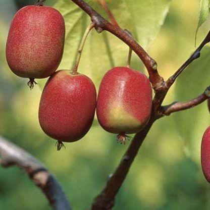 actinidia-arguta-kens-red-kopasz-kivi-gyumolcs