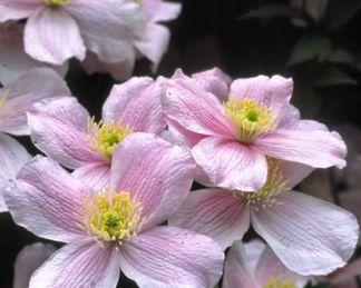 clematis-montana-mayleen-hegyi iszalag