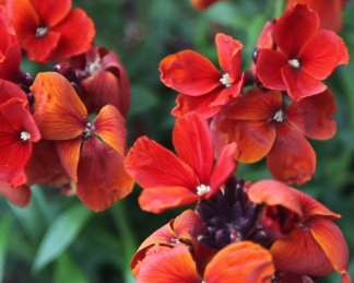 erysimum fire king