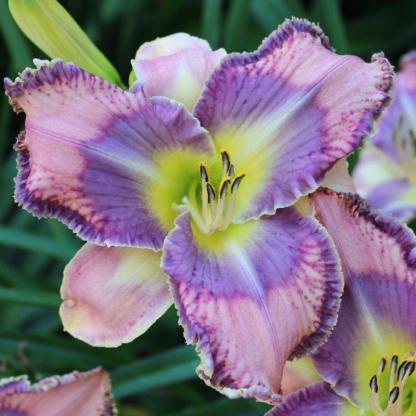 hemerocallis-mildred-mitchell-sásliliom daylily