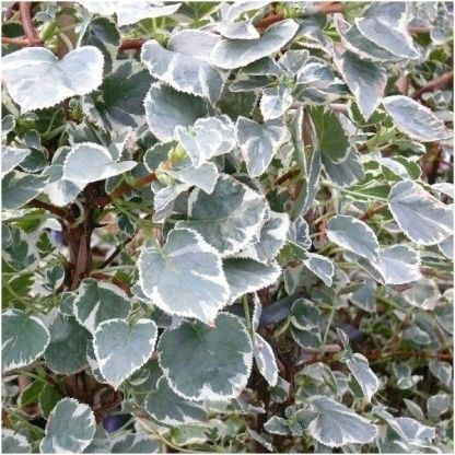 hydrangea-anomala-take-a-chance-kuszo-hortenzia