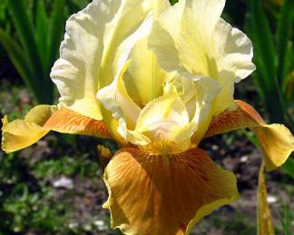 Iris barbata elatior honey glazed nőszirom