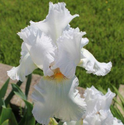 iris-barbata-elatior-lacey-snowflakes-nőszirom