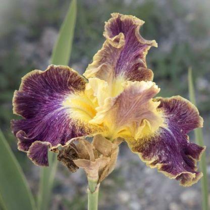 iris-barbata-high-master-nőszirom
