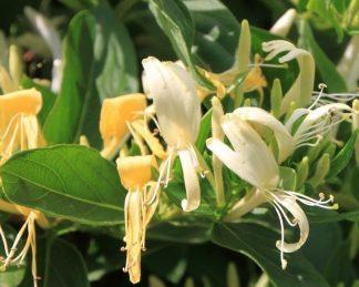 lonicera-acuminata-kuszo-lonc