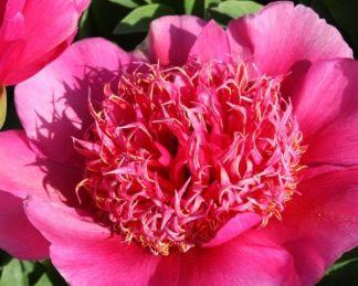 'Anemoniiflora' lágyszárú bazsarózsa