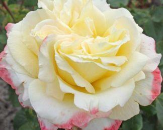 Athena teahibrid rózsa