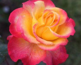 Flaming-Star teahibrid rózsa