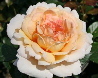 Grossherzogin_Luise teahibrid parfüma rózsa