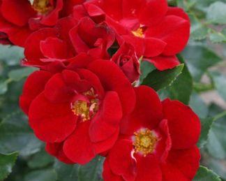 Marondo talajtakaró rózsa