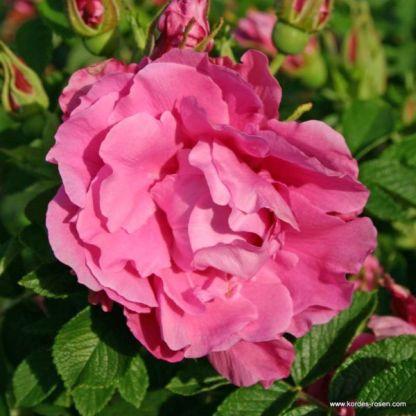 Romantic_Roadrunner_ rózsa