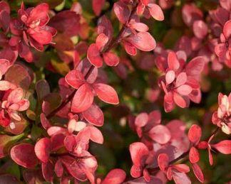 berberis-thunbergii-atropurpurea-nana-japan-verborbolya