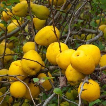 chaenomeles-japonica-cido-japan-diszbirs-termes