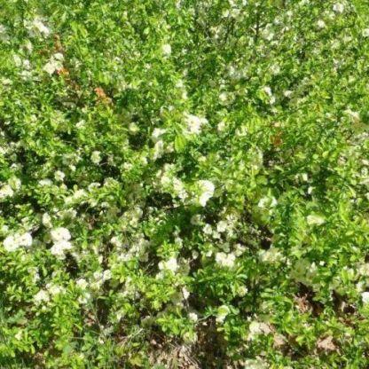 chaenomeles-speciosa-yukigoten-pompas-japanbirs bokor