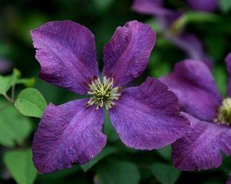 clematis-etoile-violette-olasz-iszalag