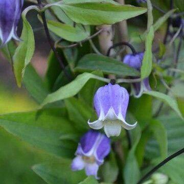 clematis-viorna-sophie