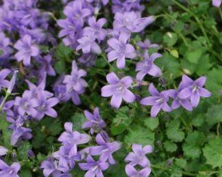 Campanula-portenschlagiana virága