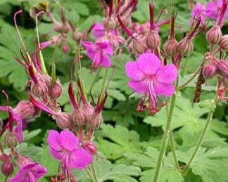 Geranium macrorrhizum 'Bevan's Variety' illatos gólyaorr