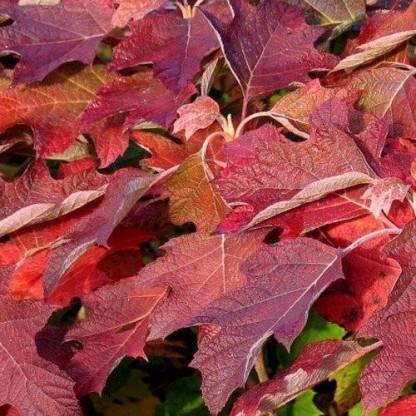 Hydrangea-quercifolia-Black-Porch-tolgylevelu-hortenzia őszi lombszín