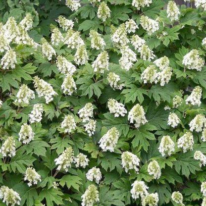 Hydrangea-quercifolia-snow-giant-tolgylevelu-hortenzia
