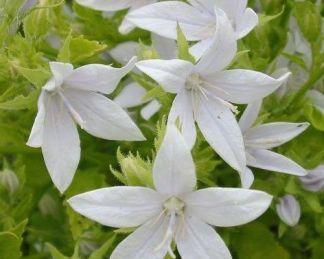 campanula-poscharskyana-nana-alba-balkani-harangvirag