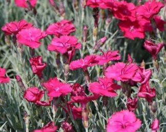 dianthus-gratianopolitanus-badenia-punkosdi-szegfu