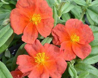 helianthemum-fire-dragon-napvirag
