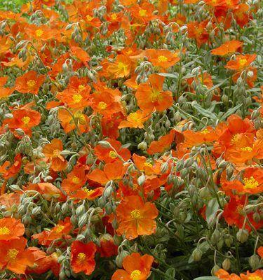 helianthemum-henfield-brilliant-napvirag2