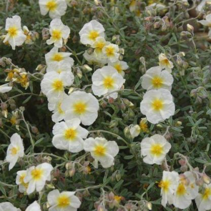 helianthemum-the-bride-napvirag