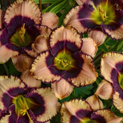 hemerocallis-daring-deception-sasliliom