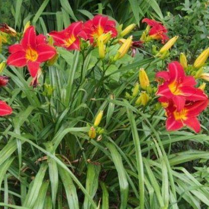hemerocallis-stella-in-red-sasliliom bokor