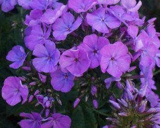 phlox-paniculata-sweet-summer-temptation-bugas-langvirag