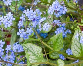 Brunnera-macrophhylla-jack-frost-kaukazusi-nefelejcs