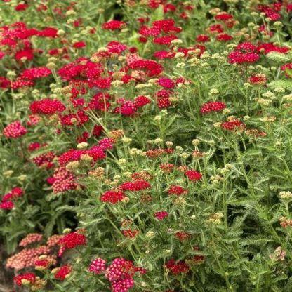 achillea-millefolium-red-velvet-cickafark2