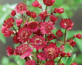 astrantia-major-ruby-wedding
