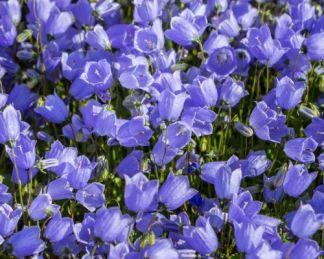 campanula-carpatica-blue-karpati-harangvirag