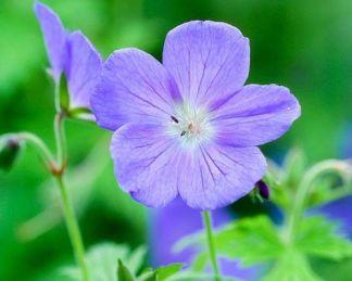 geranium-johnsons-blue-golyaorr